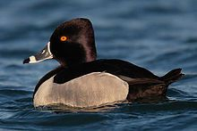 wiki's Ring-necked duck photo