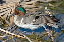 wiki's male Green-winged Teal photo
