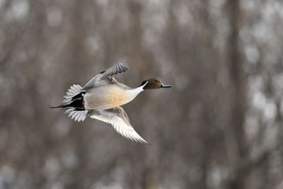 wikis male northern pintail photo