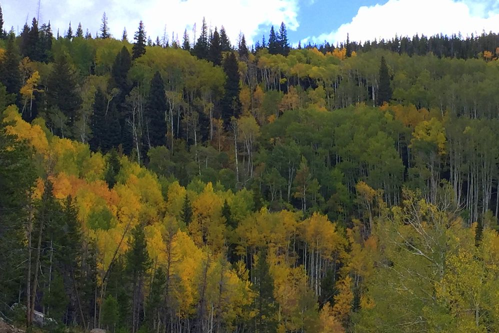Aspens at 10,000 ft in the park.