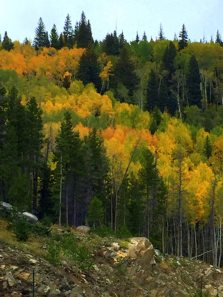 Aspens at 10,000 ft in the park