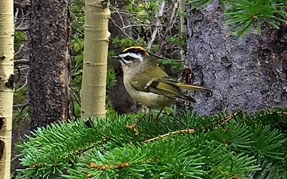 Golden-crowned Kinglet came by to say Hi!