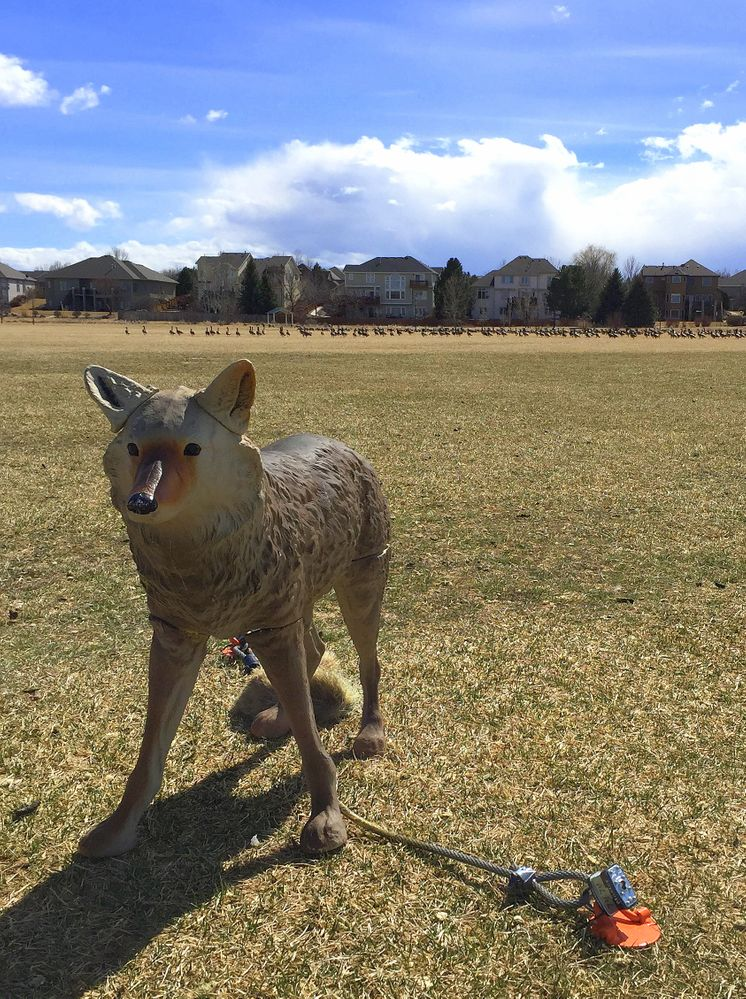 Plaster coyote protecting local field from geese.