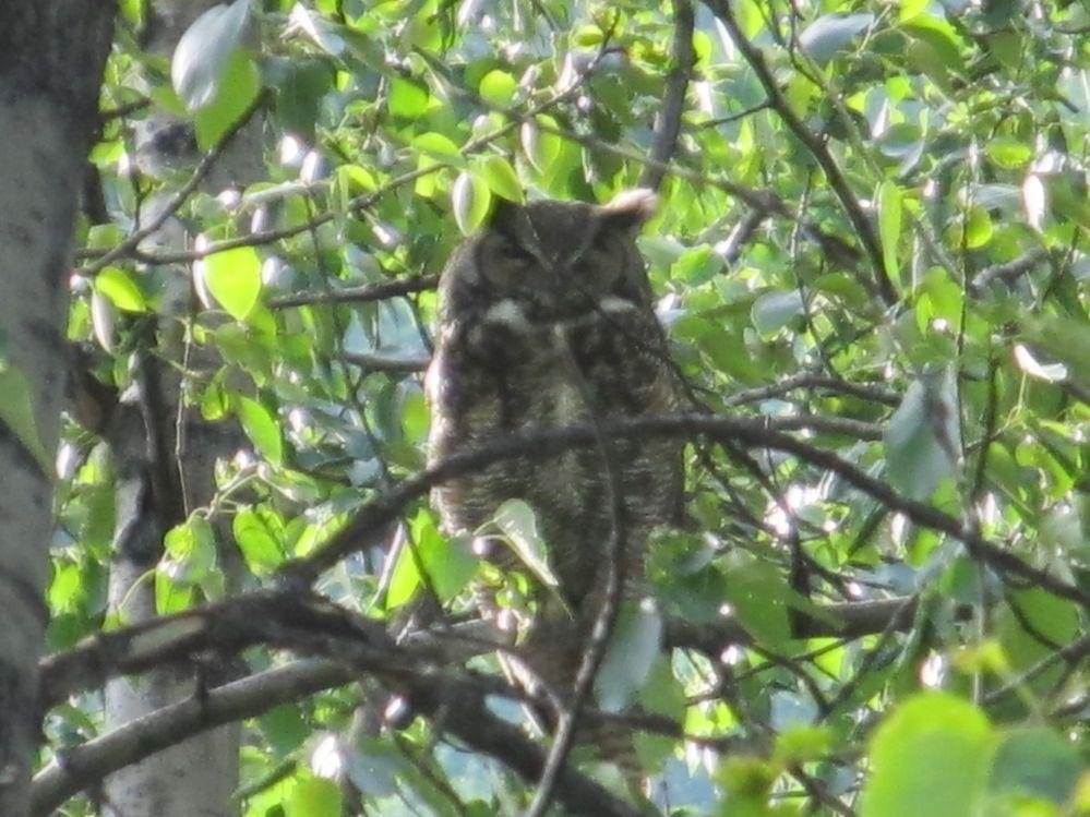 Big Owl in a park outside Seward