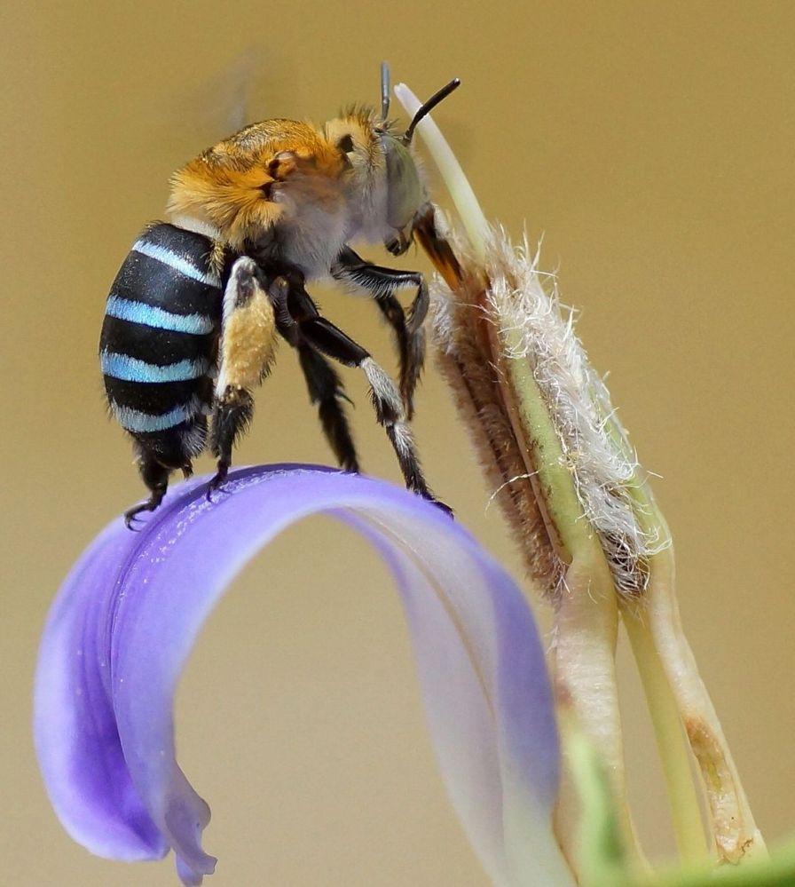 Amegilla_cingulata_on_long_tube_of_Acanthus_ilicifolius_flower.jpg