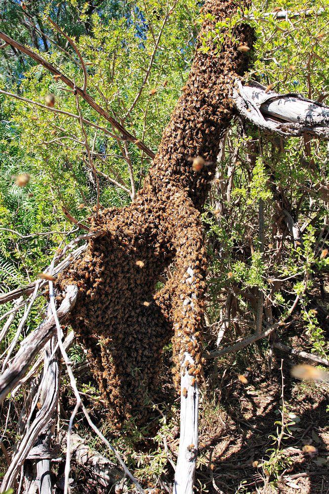 Bee_swarm_on_fallen_tree03.jpg