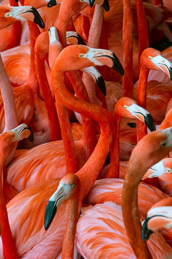 animals-flamongo-flock.jpg