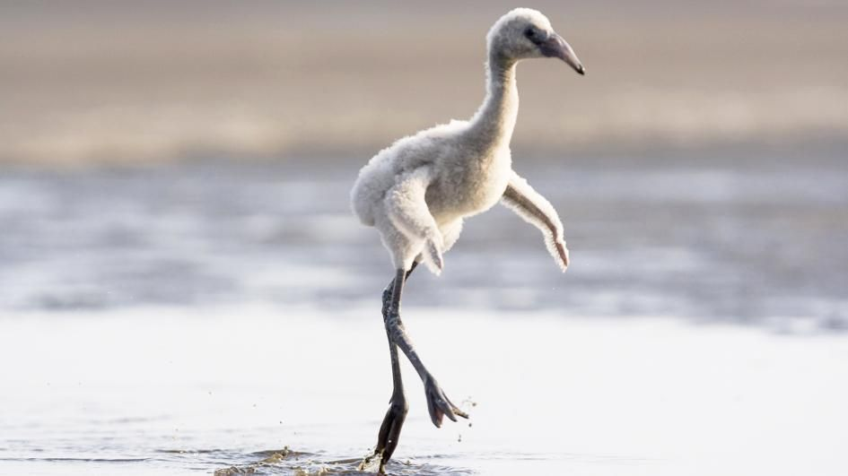 ww-baby-animals-flamingo.adapt.945.1.jpg