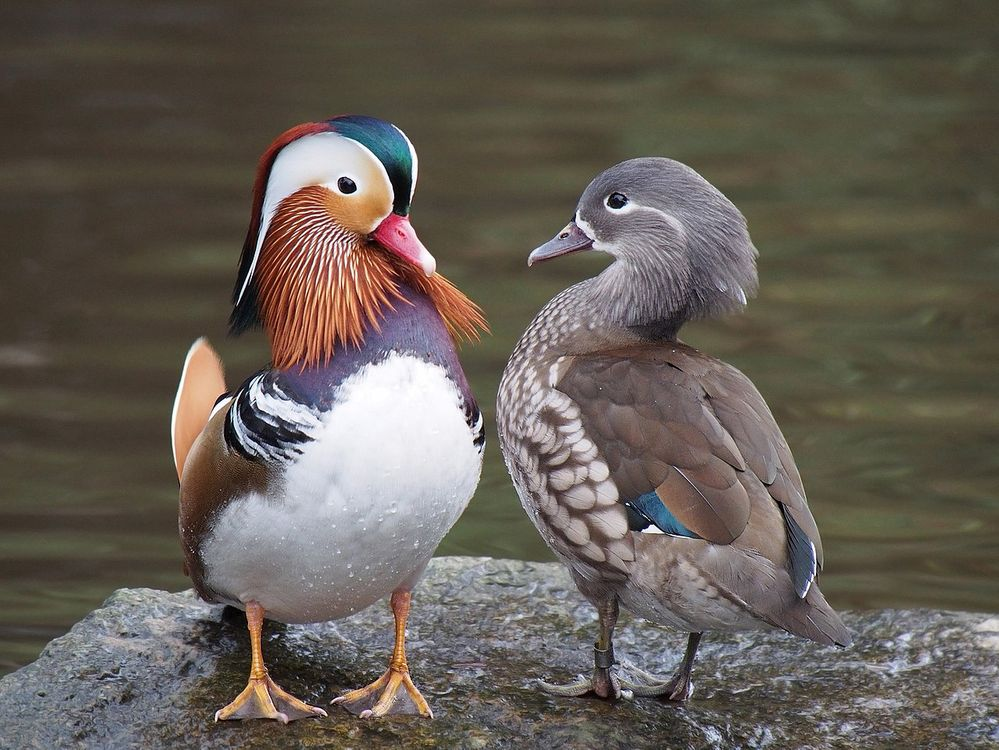 1280px-Pair_of_mandarin_ducks.jpg