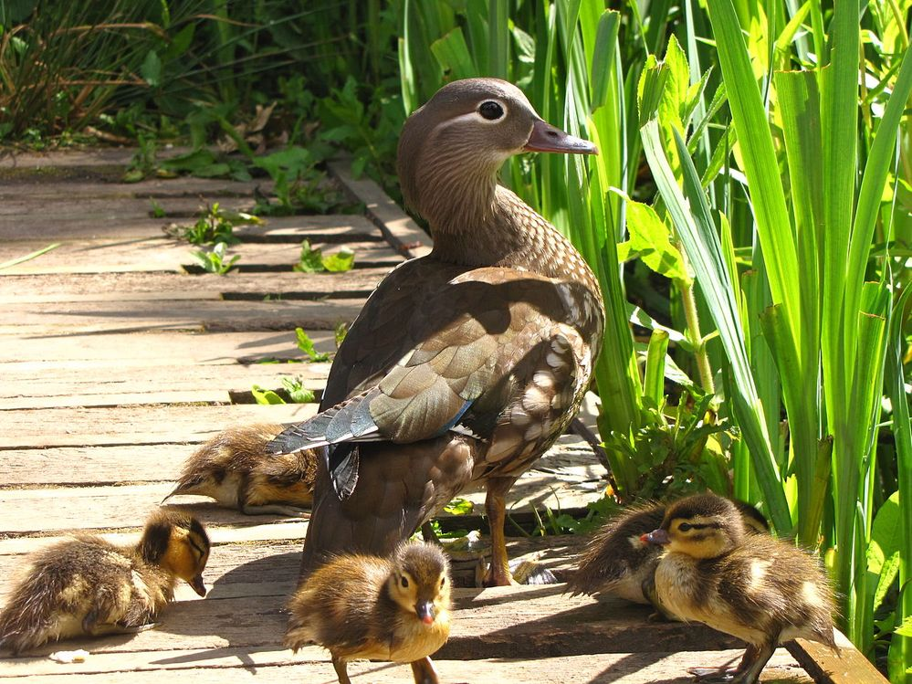 1280px-Aix_galericulata_-Richmond_Park,_London,_England_-mother_and_ducklings-8.jpg