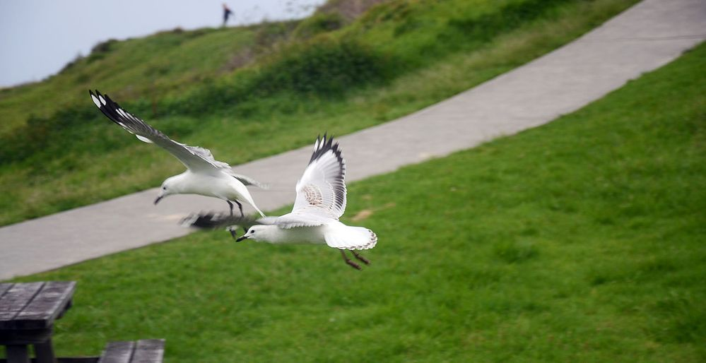 Flying_seagulls_at_Kiama_beach_during_Christmas,_Sydney_2013.jpg