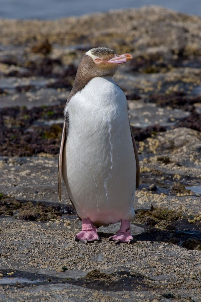 Yellow-eyed_Penguin_MC.jpg