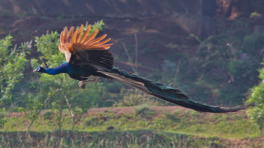 1280px-Peacock_Flying.jpg