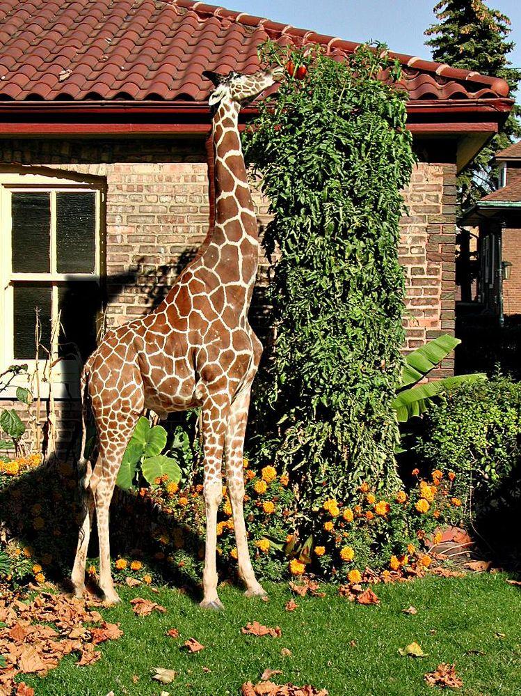 GiraffeTomato.jpg