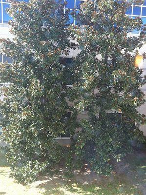 Two mangolia trees
