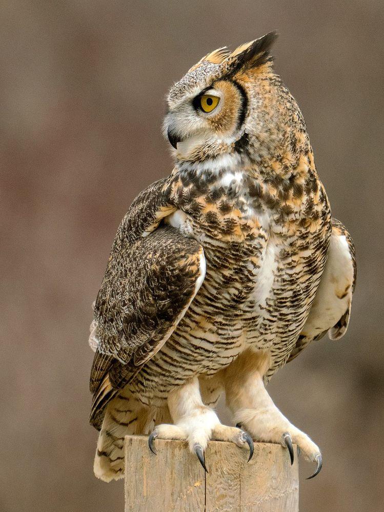 1280px-Talons,_Great_Horned_Owl.jpg