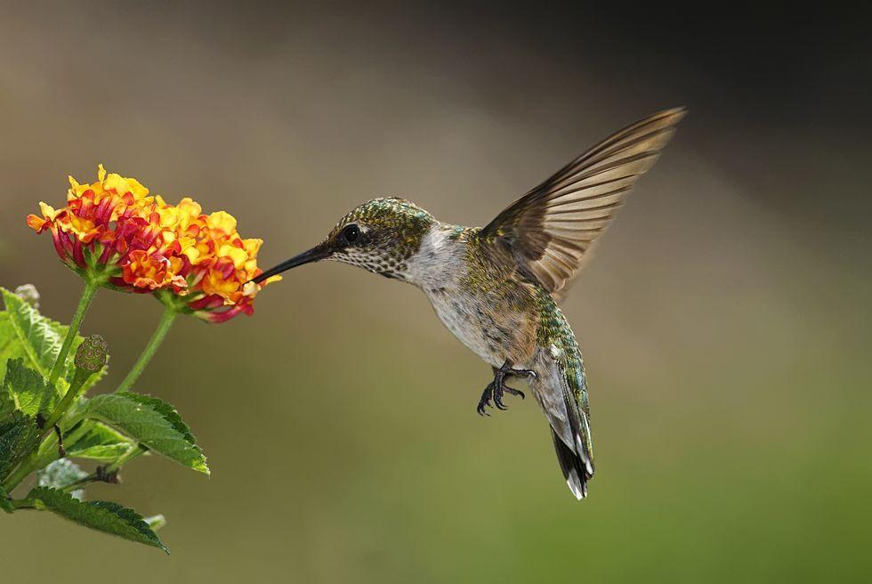 hummingbird-feeding-on-lantana-royalty-free-image-141454268-1566267759.jpg