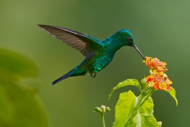 blue-chinned-sapphire-hummingbird-royalty-free-image-981925670-1566268487.jpg