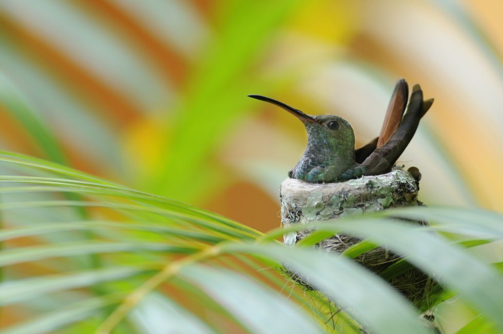 rufous-tailed-hummingbird-on-nest-high-res-stock-photography-481344375-1566268236.jpg