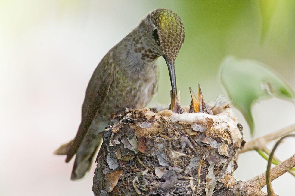 hummingbird-feeding-chicks-high-res-stock-photography-520848054-1566268960.jpg