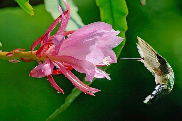 hummingbird-feeding-at-pink-flower.jpg
