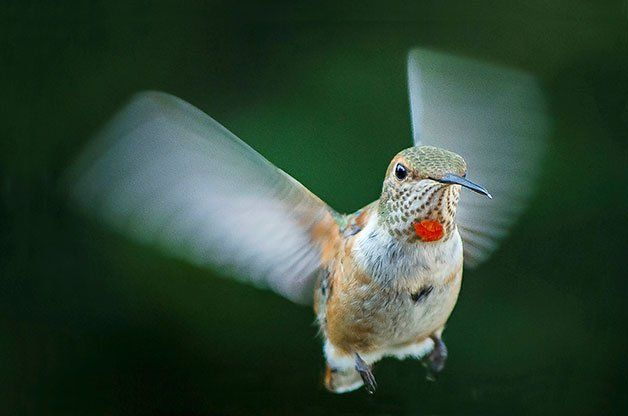 rufous-hummingbird-flying-forward.jpg