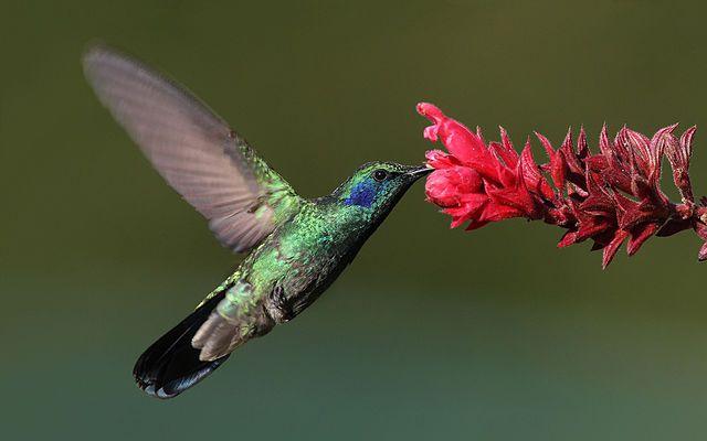 green-violet-ear-hummingbird.jpg