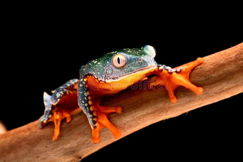 fringe-tree-frog-cruziohyla-craspedopus-tropical-rain-forest-amphibian-amazon-rainforest-exotic-animal-treefrog-68436625.jpg