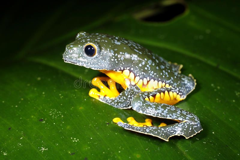 amazon-leaf-frog-9786503.jpg