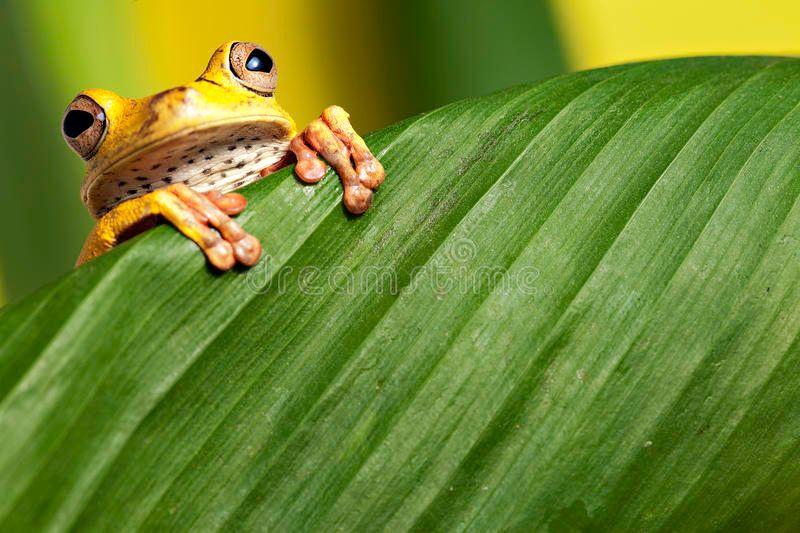 tree-frog-leaf-amphibian-tropical-amazon-jungle-14088930.jpg