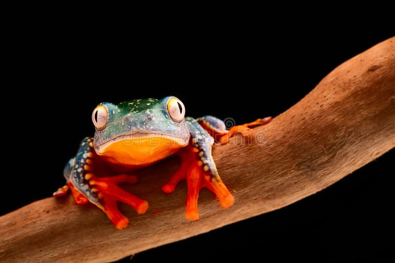 fringe-tree-frog-cruziohyla-craspedopus-tropical-rain-forest-amphibian-amazon-rainforest-exotic-animal-treefrog-68436347.jpg