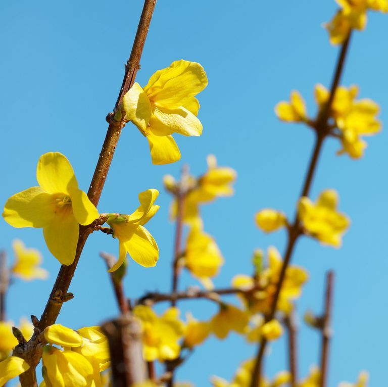 forsythia-x-intermedia-royalty-free-image-480115768-1553030439.jpg