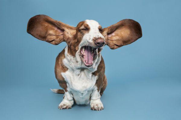 funny-basset_hound_yawning.jpg