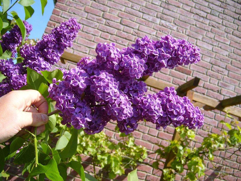 1280px-Lilac_Bush.jpg