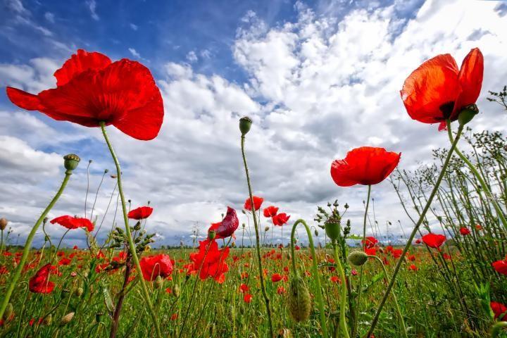 poppy-2989645_1920_full_width.jpg