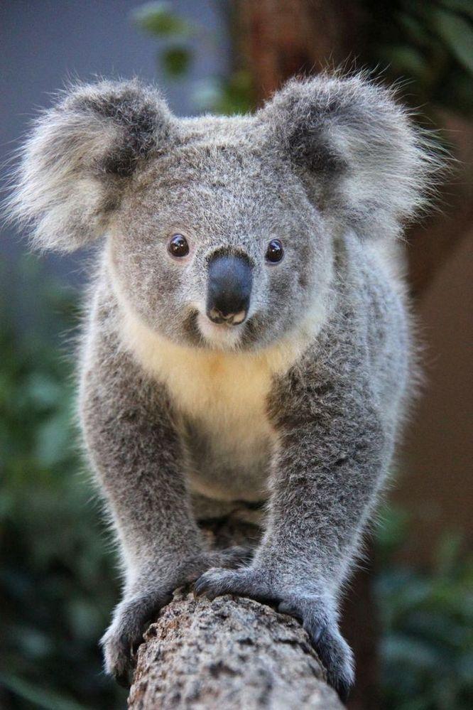 51a3ba77e2e16429a338dee6bdd52b2d--koala-bears-koalas.jpg
