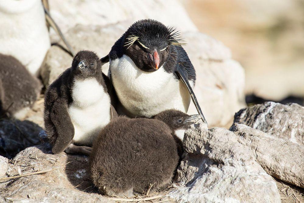 1280px-FAL-2016-New_Island,_Falkland_Islands-Rockhopper_penguin_(Eudyptes_chrysocome)_02.jpg
