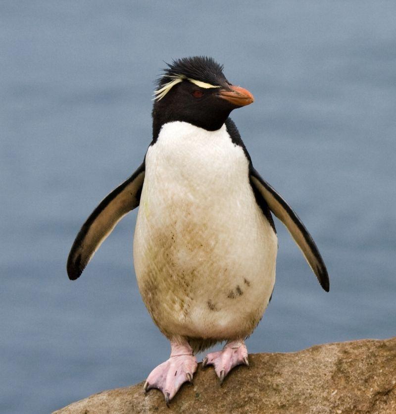 Gorfou_sauteur_-_Rockhopper_Penguin.jpg