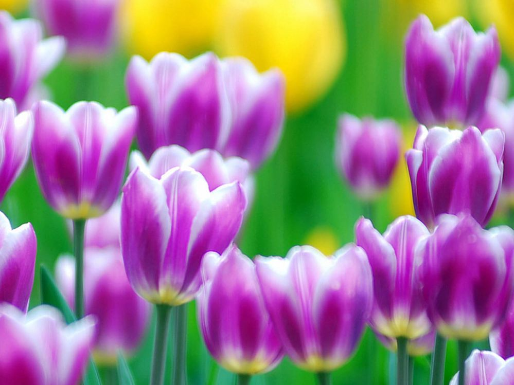 Purple Tulips Flowers Wallpapers 05.jpg