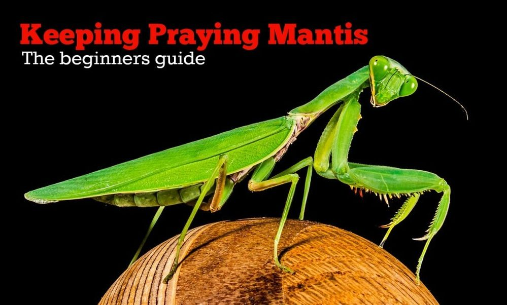 keeping-praying-mantis-as-pets-1024x617.jpg