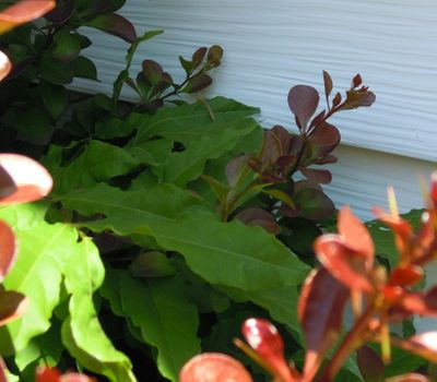 He's on the middle leaf near the white siding.
