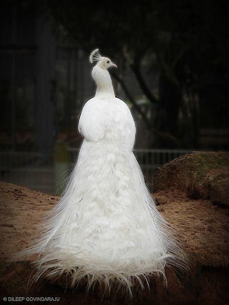 back-albino-peacock.jpg