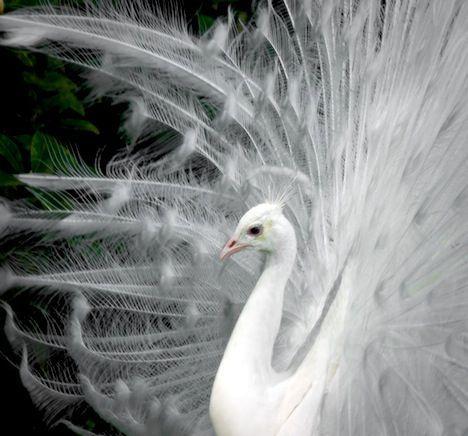 side-peacock.jpg