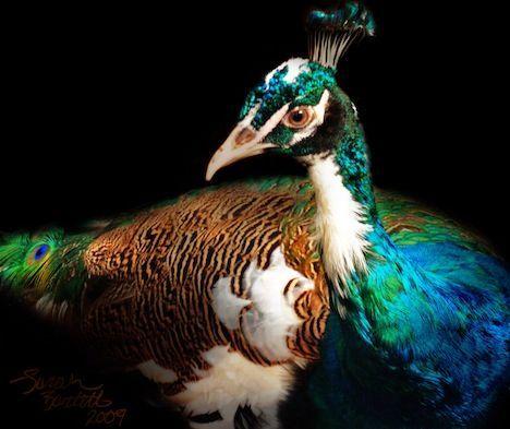 half-albino-peacock.jpg