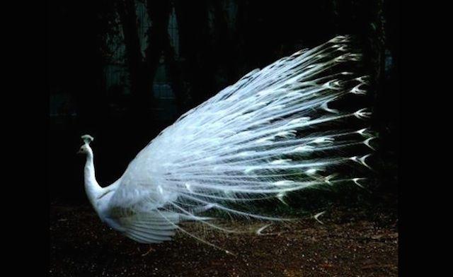 albino-peacock.jpg