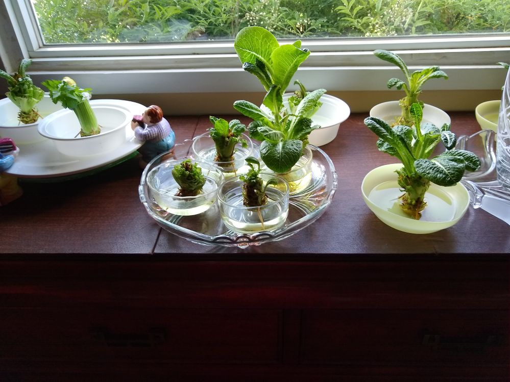 Regrowing Romaine and celery from ends.