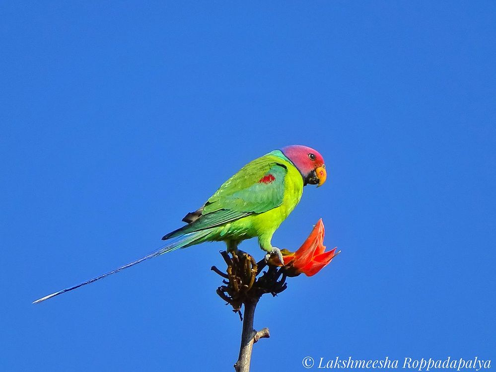 Plum_headed_parakeet_.jpg