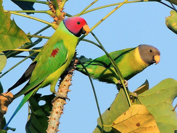Pair_of_Plum-headed_parakeet_(Psittacula_cyanocephala)_Photograph_By_Shantanu_Kuveskar (1).jpg
