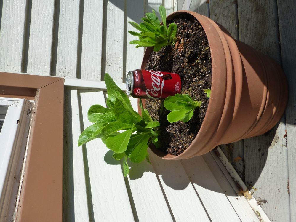 This has been SO much fun! Who knew you could grow romaine from scrap???