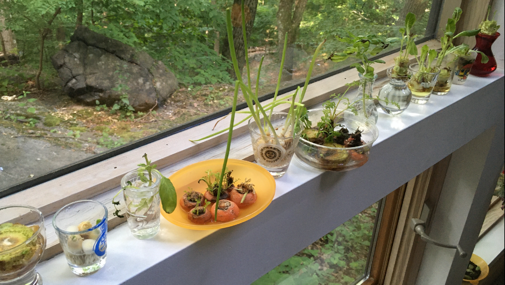 "Our scraps window garden - inspired when scallions were at a premium and then expanded for indoor healthy ""gardening"" fun!"